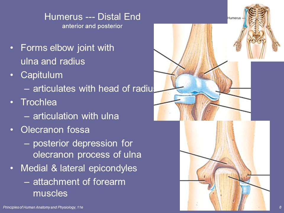 Principles of Human Anatomy and Physiology, 11e8 Humerus --- Distal End anterior and posterior Forms elbow joint with ulna and radius Capitulum –artic