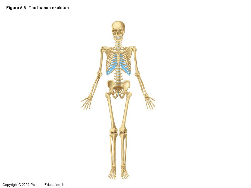 Copyright © 2009 Pearson Education, Inc. Figure 5.5 The human skeleton.