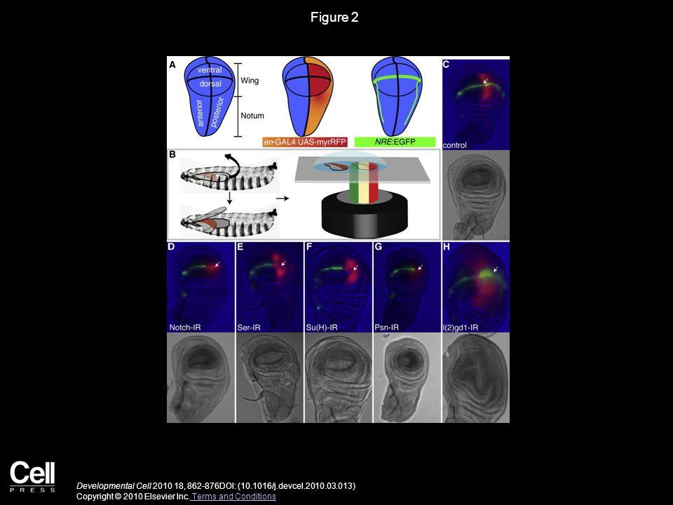 Figure 2 Developmental Cell 2010 18, 862-876DOI: (10.1016/j.devcel.2010.03.013) Copyright © 2010 Elsevier Inc.
