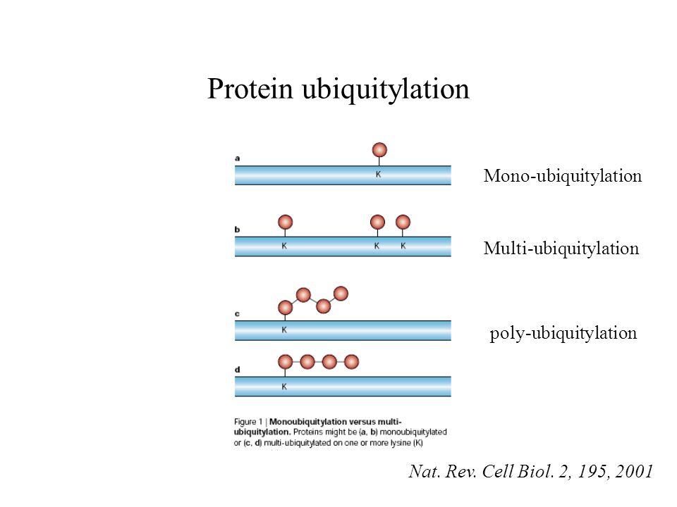 Protein ubiquitylation Mono-ubiquitylation Multi-ubiquitylation poly-ubiquitylation Nat. Rev. Cell Biol. 2, 195, 2001