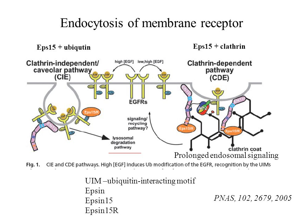 Endocytosis of membrane receptor UIM –ubiquitin-interacting motif Epsin Epsin15 Epsin15R PNAS, 102, 2679, 2005 Eps15 + clathrin Eps15 + ubiqutin Prolo