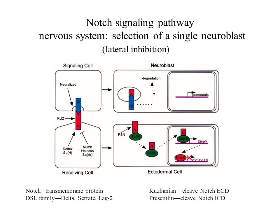 Notch –transmembrane protein DSL family—Delta, Serrate, Lag-2 Kuzbanian—cleave Notch ECD Presenilin—cleave Notch ICD Notch signaling pathway nervous s
