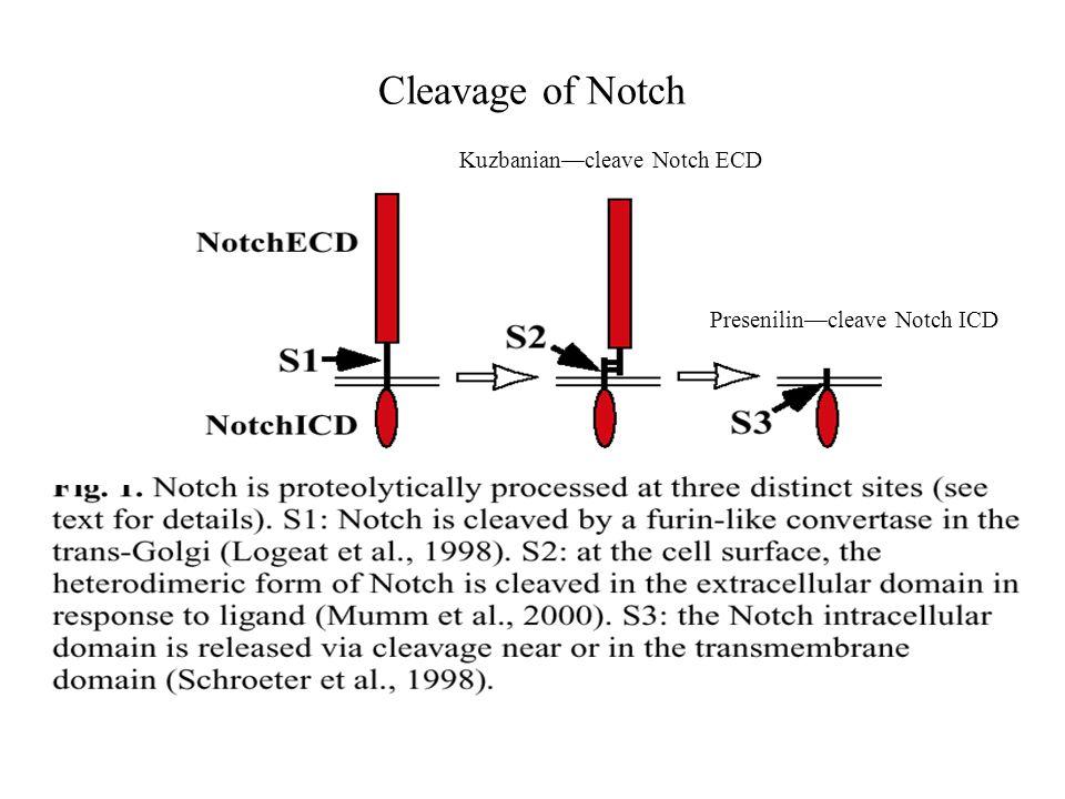 Cleavage of Notch Kuzbanian—cleave Notch ECD Presenilin—cleave Notch ICD