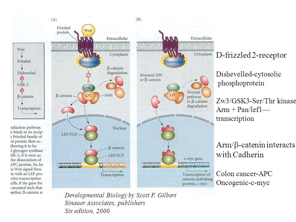 Developmental Biology by Scott F. Gilbert Sinauer Associates, publishers Six edition, 2000 Arm/  -catenin interacts with Cadherin Colon cancer-APC On