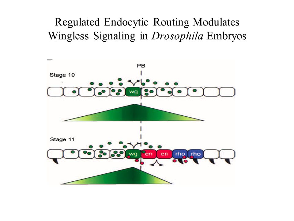 Regulated Endocytic Routing Modulates Wingless Signaling in Drosophila Embryos