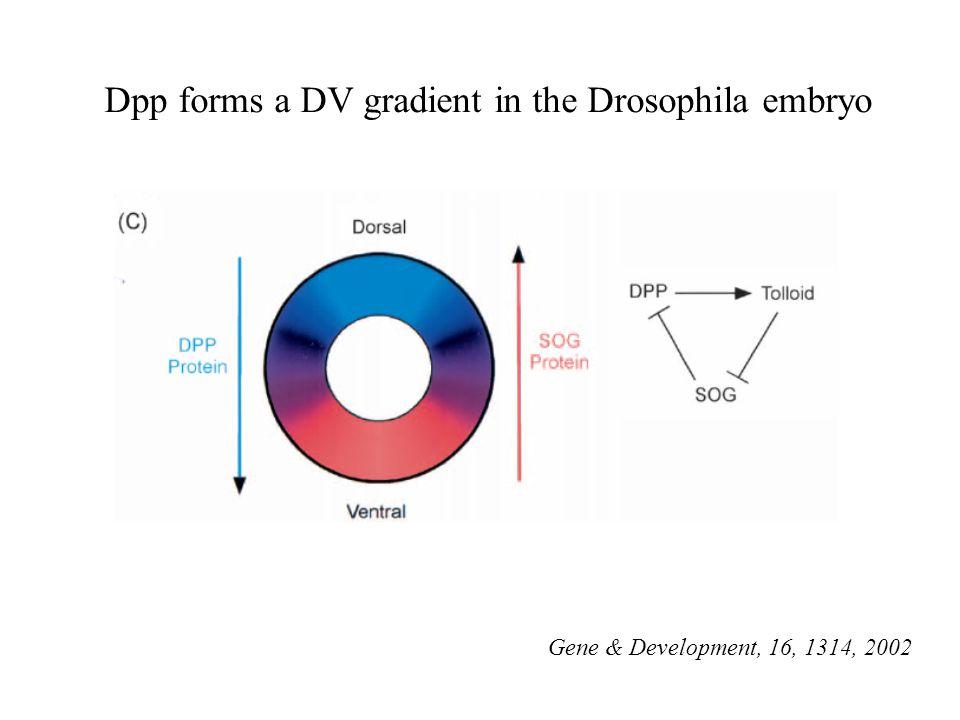Gene & Development, 16, 1314, 2002 Dpp forms a DV gradient in the Drosophila embryo