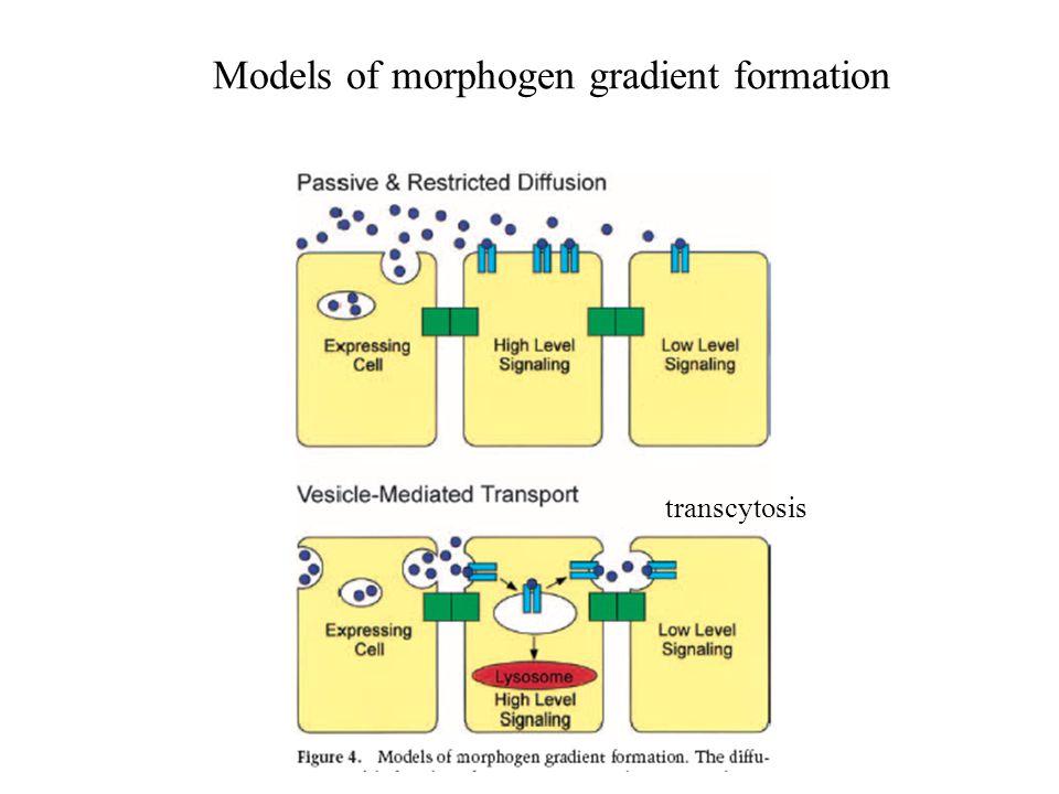 Models of morphogen gradient formation transcytosis