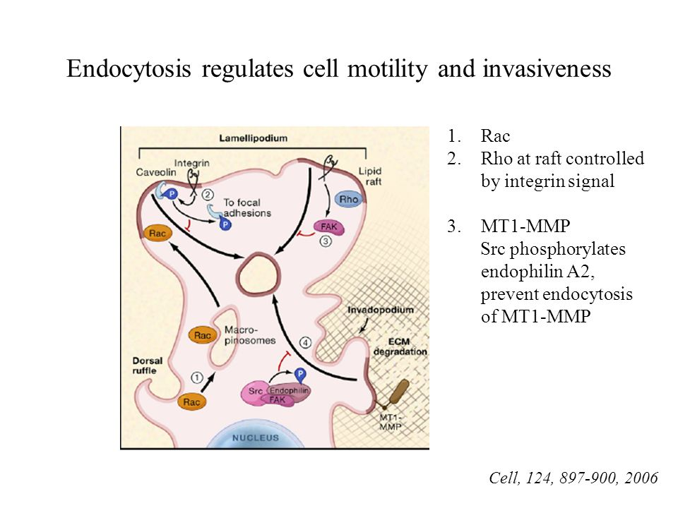 Endocytosis regulates cell motility and invasiveness Cell, 124, 897-900, 2006 1.Rac 2.Rho at raft controlled by integrin signal 3.MT1-MMP Src phosphor