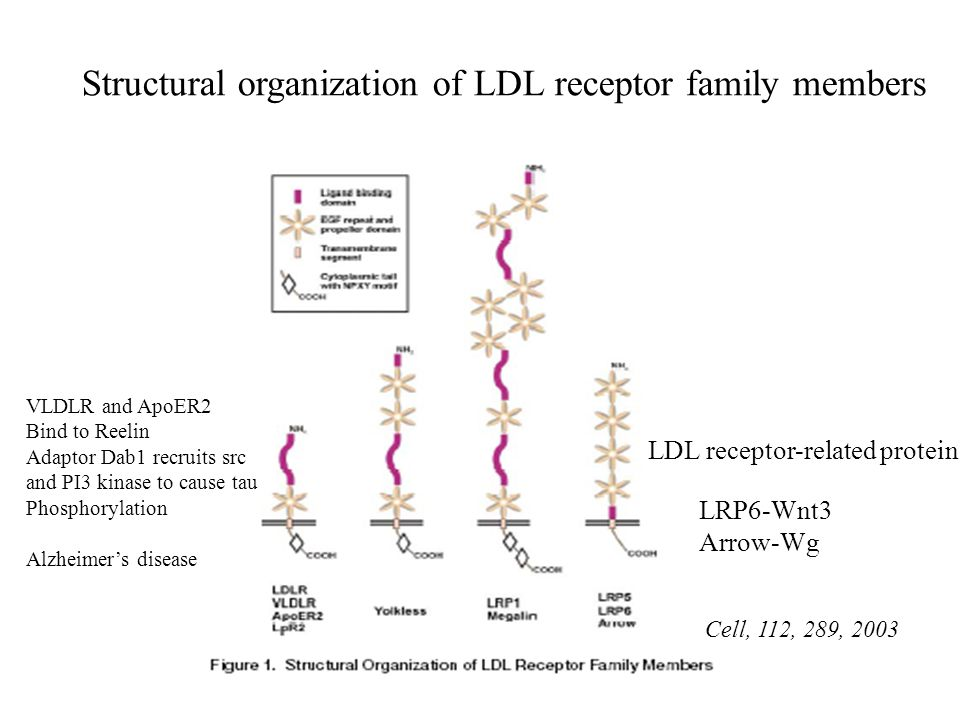 LDL receptor-related protein Structural organization of LDL receptor family members Cell, 112, 289, 2003 VLDLR and ApoER2 Bind to Reelin Adaptor Dab1