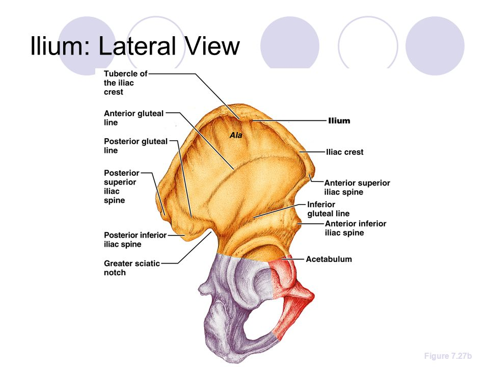 Ilium: Lateral View Figure 7.27b