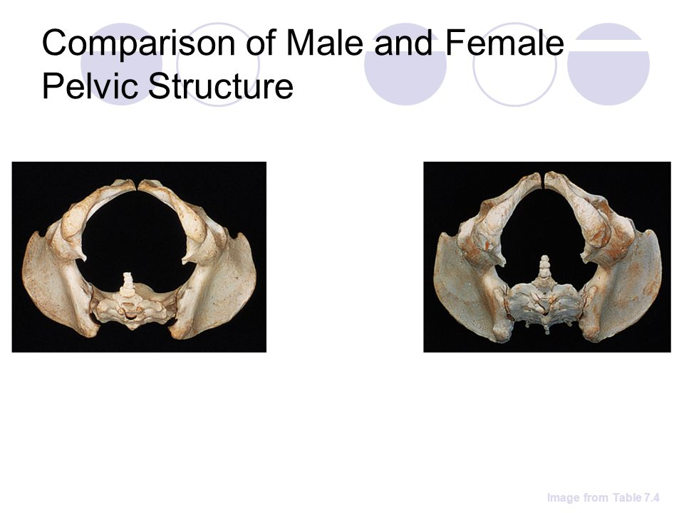 Comparison of Male and Female Pelvic Structure Image from Table 7.4