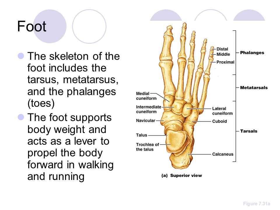 Foot The skeleton of the foot includes the tarsus, metatarsus, and the phalanges (toes) The foot supports body weight and acts as a lever to propel the body forward in walking and running Figure 7.31a