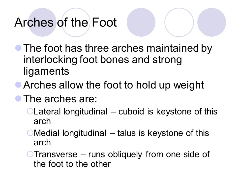 Arches of the Foot The foot has three arches maintained by interlocking foot bones and strong ligaments Arches allow the foot to hold up weight The arches are:  Lateral longitudinal – cuboid is keystone of this arch  Medial longitudinal – talus is keystone of this arch  Transverse – runs obliquely from one side of the foot to the other