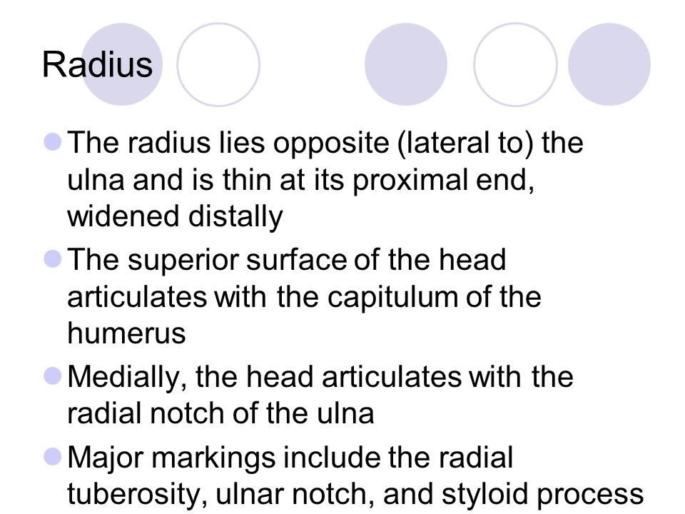 Radius The radius lies opposite (lateral to) the ulna and is thin at its proximal end, widened distally The superior surface of the head articulates with the capitulum of the humerus Medially, the head articulates with the radial notch of the ulna Major markings include the radial tuberosity, ulnar notch, and styloid process