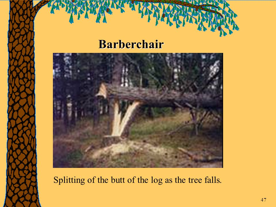 47 Barberchair Splitting of the butt of the log as the tree falls.