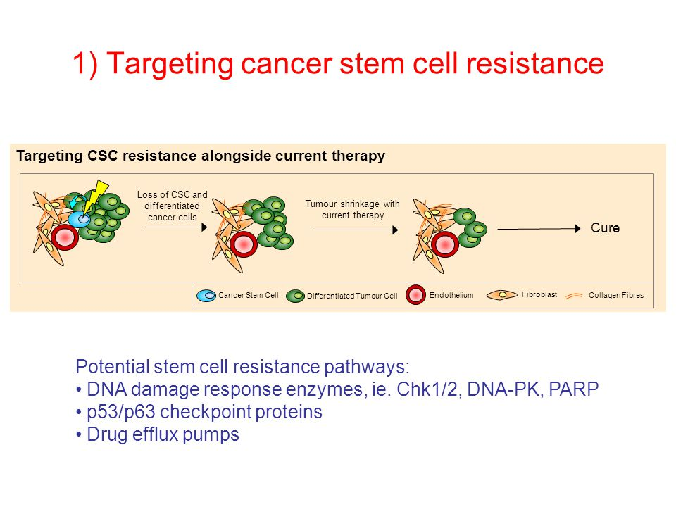 1) Targeting cancer stem cell resistance Cure Loss of CSC and differentiated cancer cells Tumour shrinkage with current therapy Targeting CSC resistance alongside current therapy Cancer Stem Cell Differentiated Tumour Cell Endothelium Fibroblast Collagen Fibres Potential stem cell resistance pathways: DNA damage response enzymes, ie.