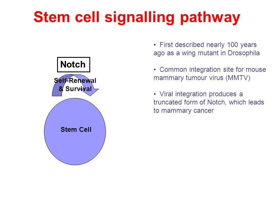 Notch Self-Renewal & Survival Stem Cell Stem cell signalling pathway First described nearly 100 years ago as a wing mutant in Drosophila Common integr