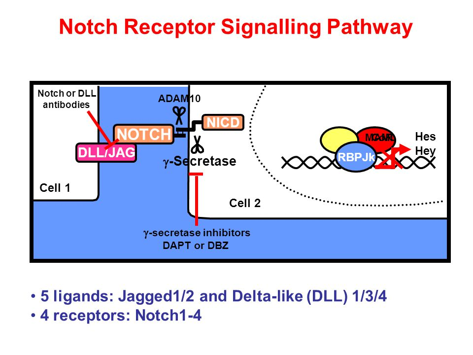 Notch Receptor Signalling Pathway 5 ligands: Jagged1/2 and Delta-like (DLL) 1/3/4 4 receptors: Notch1-4 RBPJk CoR NICD Hes Hey MAML  -Secretase  -secretase inhibitors DAPT or DBZ Notch or DLL antibodies DLL/JAG NOTCH ADAM10 Cell 1 Cell 2