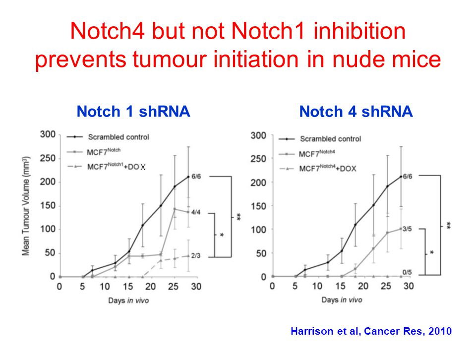 Notch4 but not Notch1 inhibition prevents tumour initiation in nude mice Notch 1 shRNA Notch 4 shRNA X Harrison et al, Cancer Res, 2010