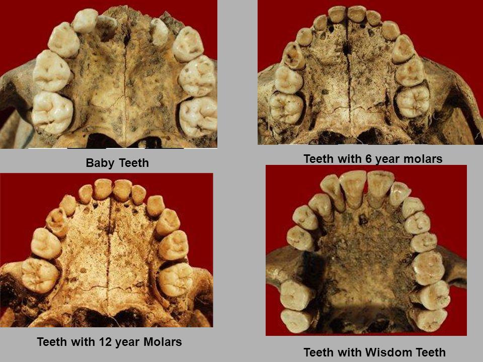 Baby Teeth Teeth with 6 year molars Teeth with 12 year Molars Teeth with Wisdom Teeth