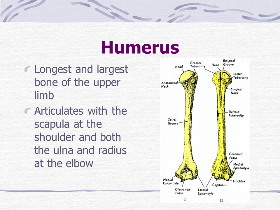 Humerus Longest and largest bone of the upper limb Articulates with the scapula at the shoulder and both the ulna and radius at the elbow