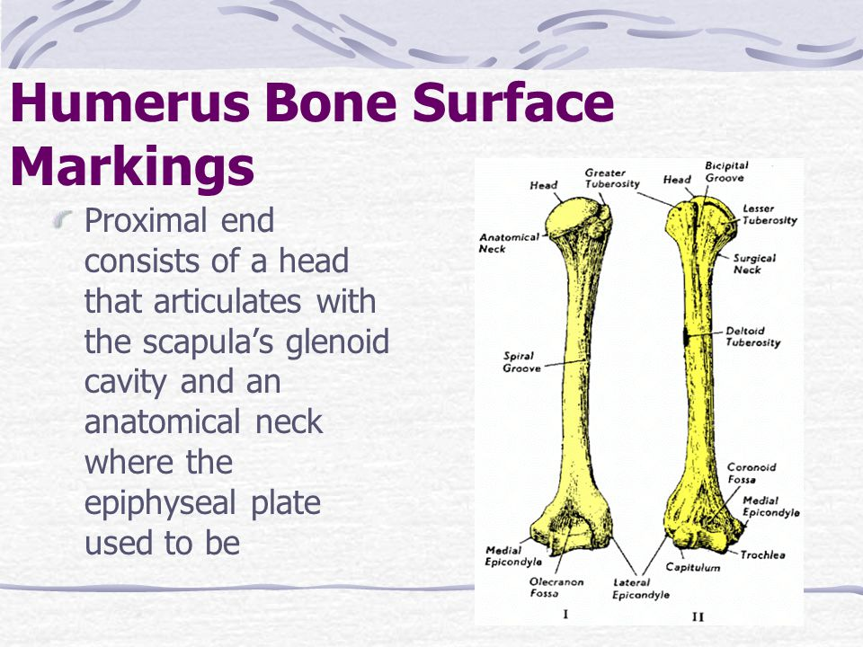 Proximal end consists of a head that articulates with the scapula's glenoid cavity and an anatomical neck where the epiphyseal plate used to be Humeru