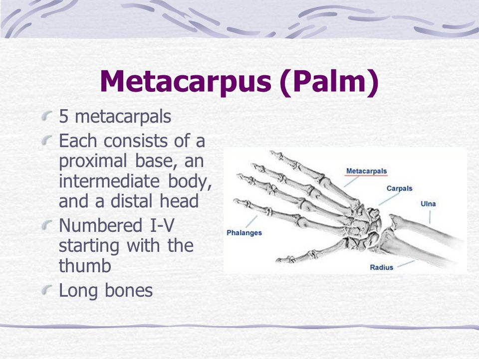 Metacarpus (Palm) 5 metacarpals Each consists of a proximal base, an intermediate body, and a distal head Numbered I-V starting with the thumb Long bo