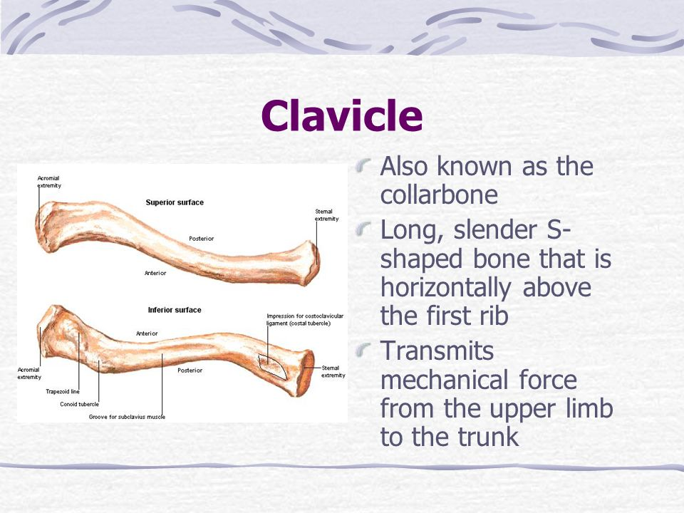 Clavicle Also known as the collarbone Long, slender S- shaped bone that is horizontally above the first rib Transmits mechanical force from the upper limb to the trunk