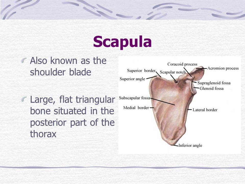 Scapula Also known as the shoulder blade Large, flat triangular bone situated in the posterior part of the thorax