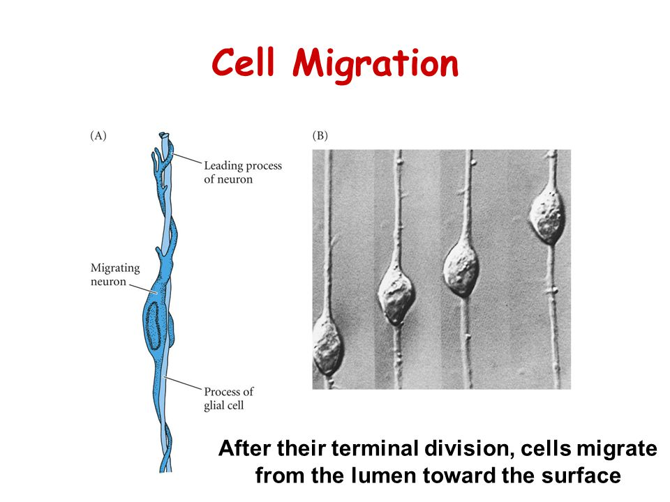 Cell Migration After their terminal division, cells migrate from the lumen toward the surface