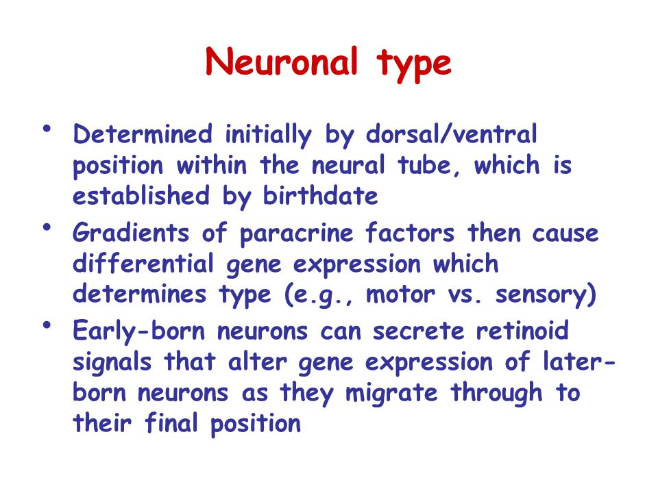 Neuronal type Determined initially by dorsal/ventral position within the neural tube, which is established by birthdate Gradients of paracrine factors then cause differential gene expression which determines type (e.g., motor vs.