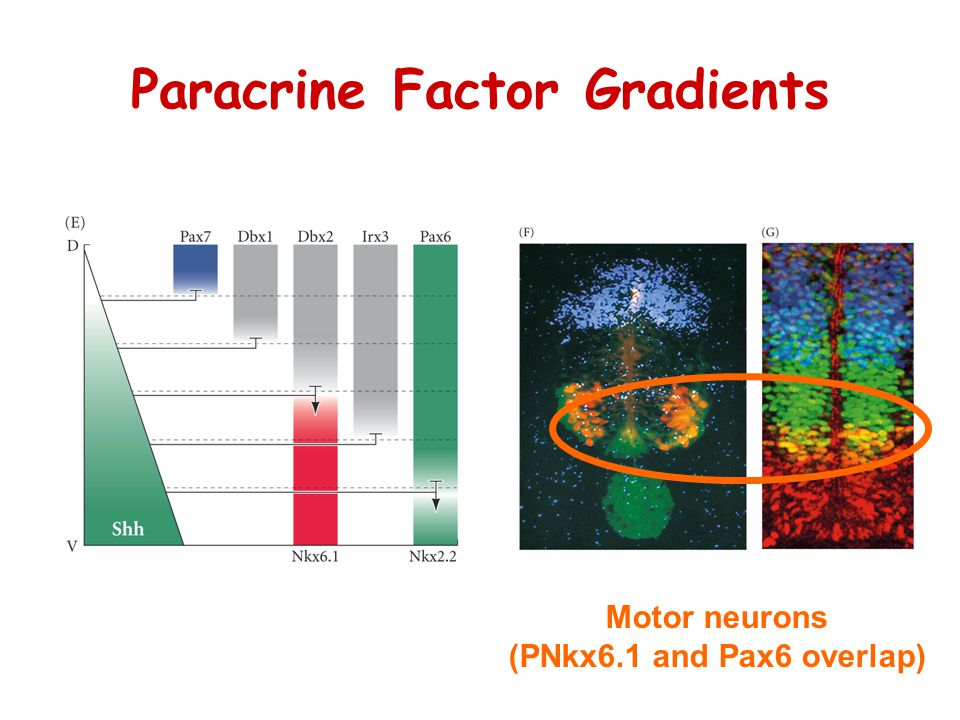 Paracrine Factor Gradients Motor neurons (PNkx6.1 and Pax6 overlap)
