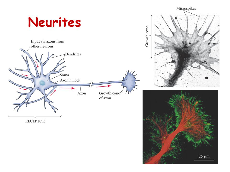Neurites