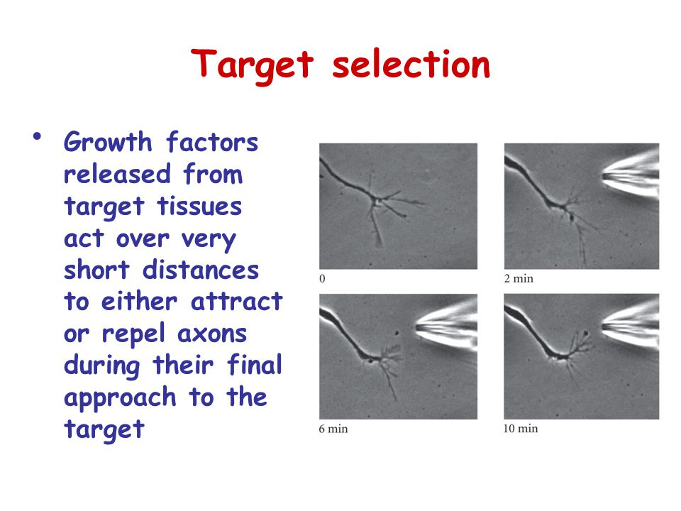 Target selection Growth factors released from target tissues act over very short distances to either attract or repel axons during their final approach to the target