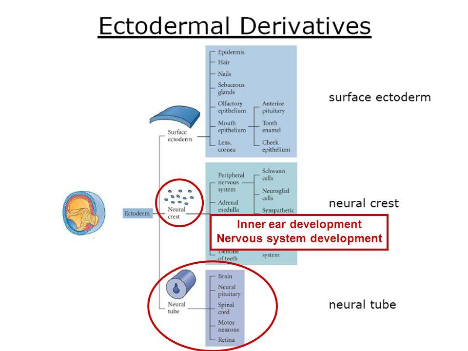 Inner ear development Nervous system development