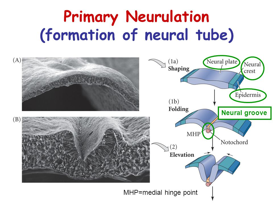 Primary Neurulation (formation of neural tube) MHP=medial hinge point Neural groove