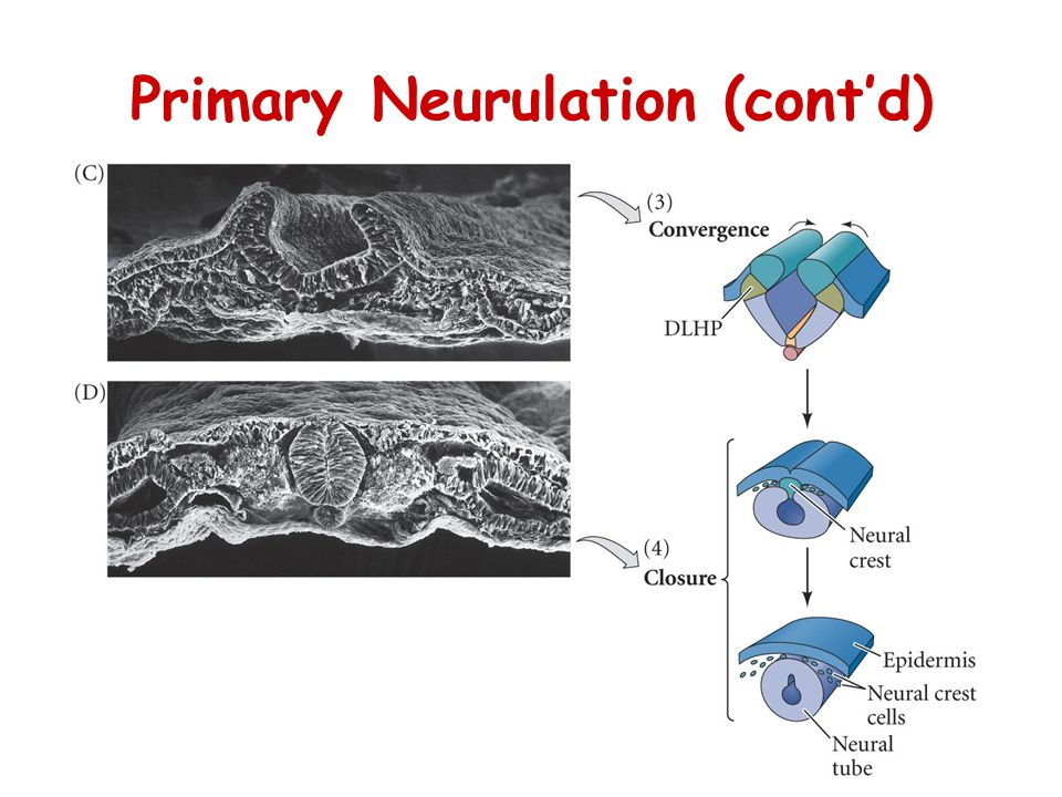 Primary Neurulation (cont'd)