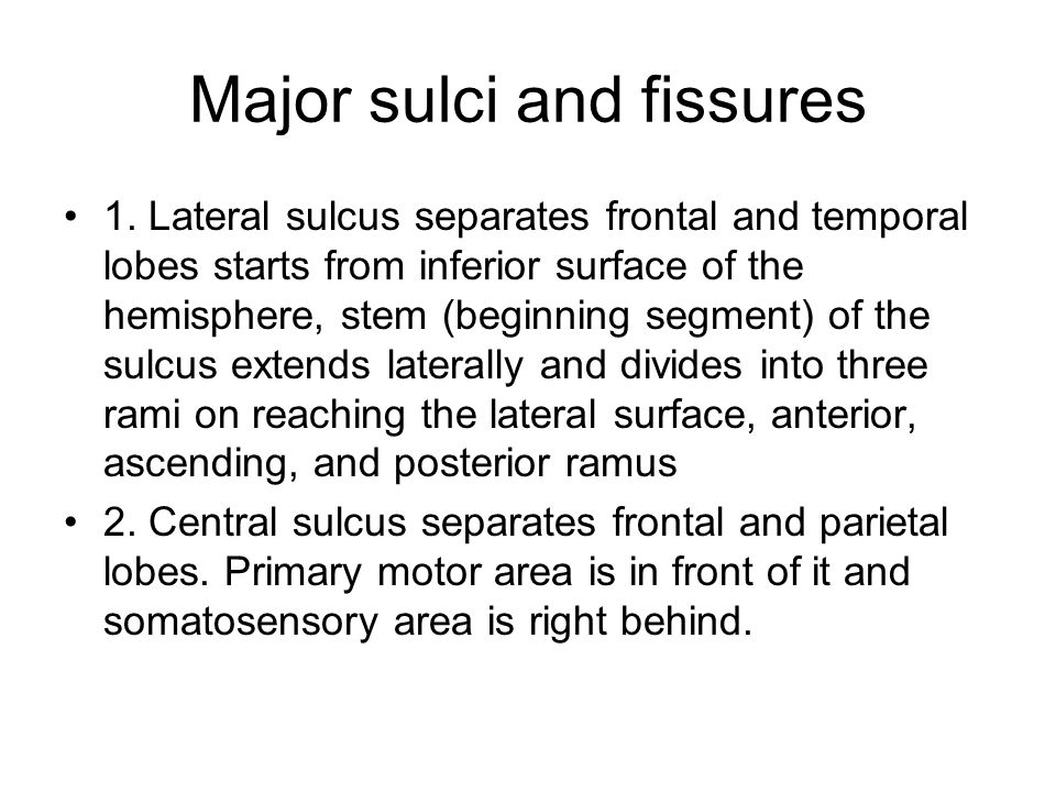 Major sulci and fissures 1.