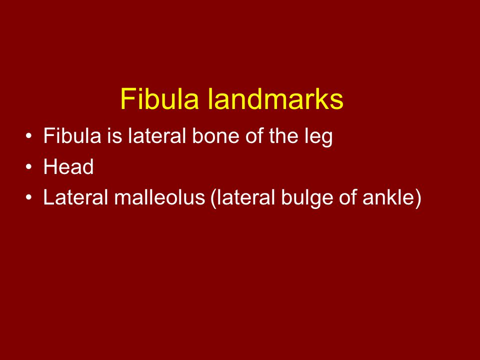Fibula landmarks Fibula is lateral bone of the leg Head Lateral malleolus (lateral bulge of ankle)