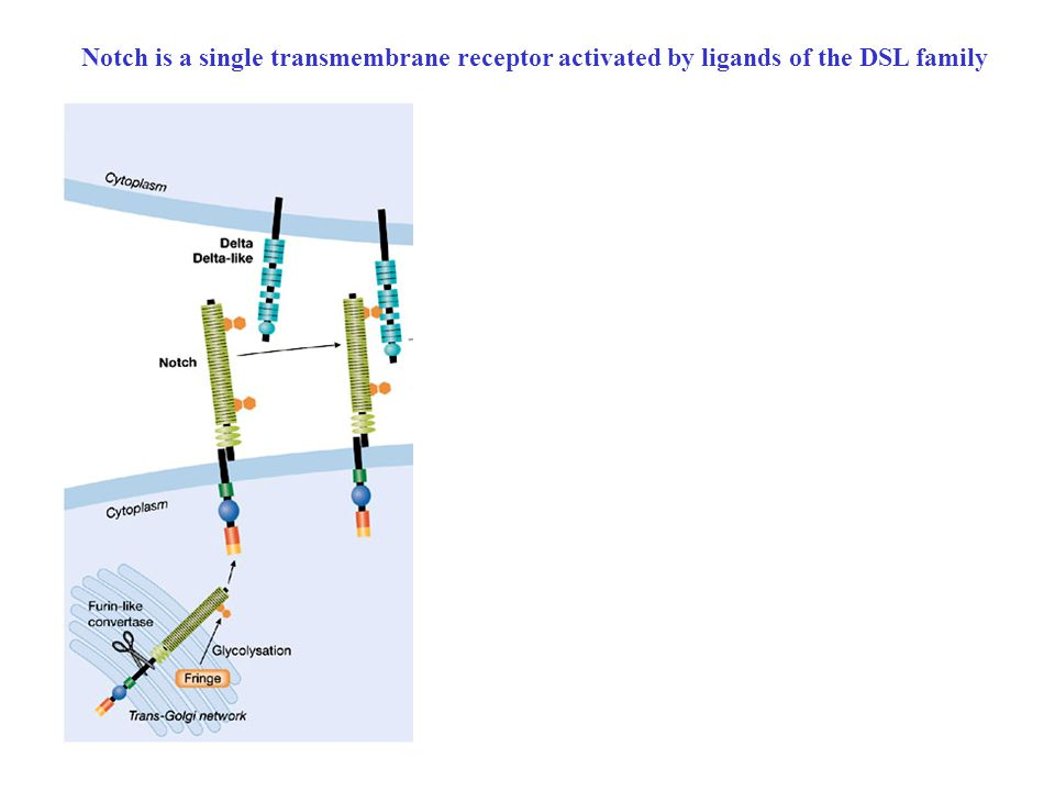 Notch is a single transmembrane receptor activated by ligands of the DSL family