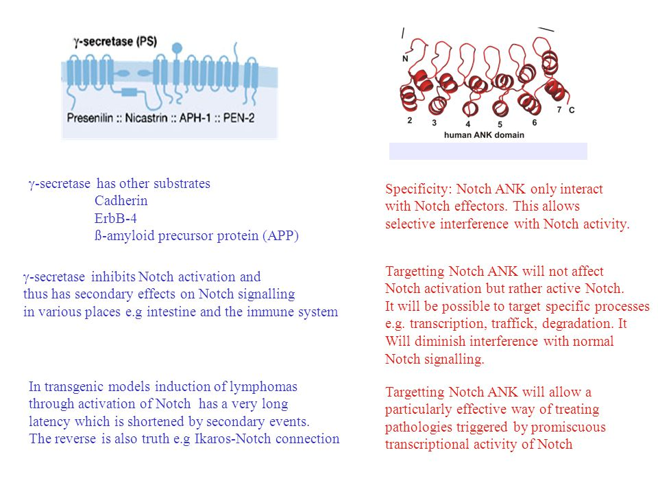  -secretase has other substrates Cadherin ErbB-4 ß-amyloid precursor protein (APP)  -secretase inhibits Notch activation and thus has secondary effects on Notch signalling in various places e.g intestine and the immune system Specificity: Notch ANK only interact with Notch effectors.