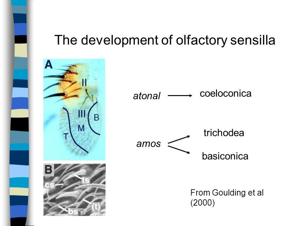 atonal amos coeloconica trichodea basiconica The development of olfactory sensilla From Goulding et al (2000)