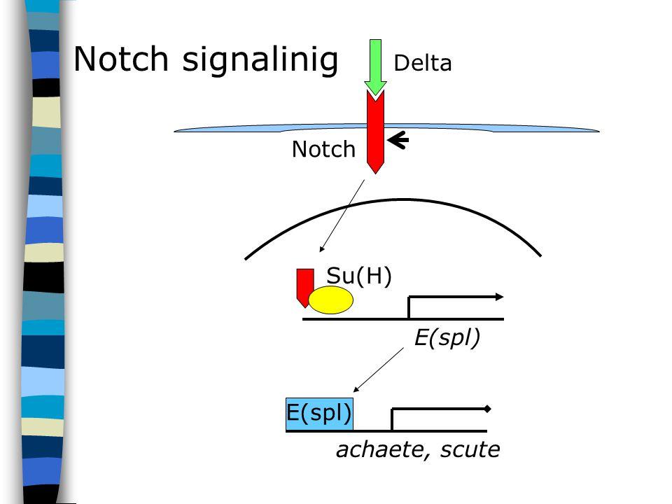 E(spl) Su(H) Delta Notch E(spl) achaete, scute Notch signalinig