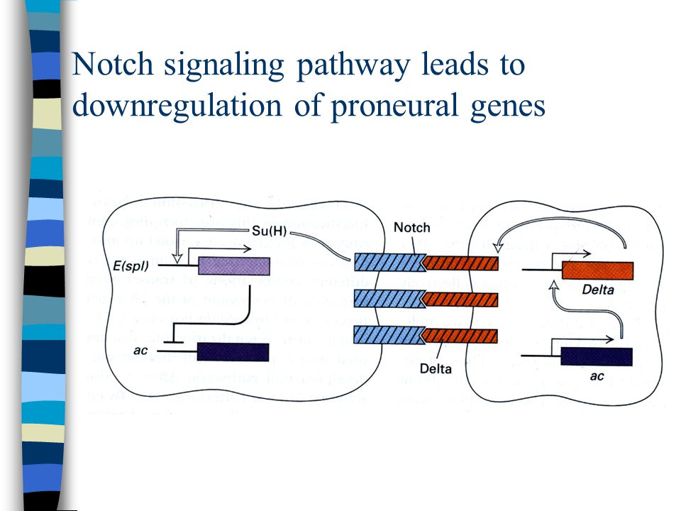 Notch signaling pathway leads to downregulation of proneural genes