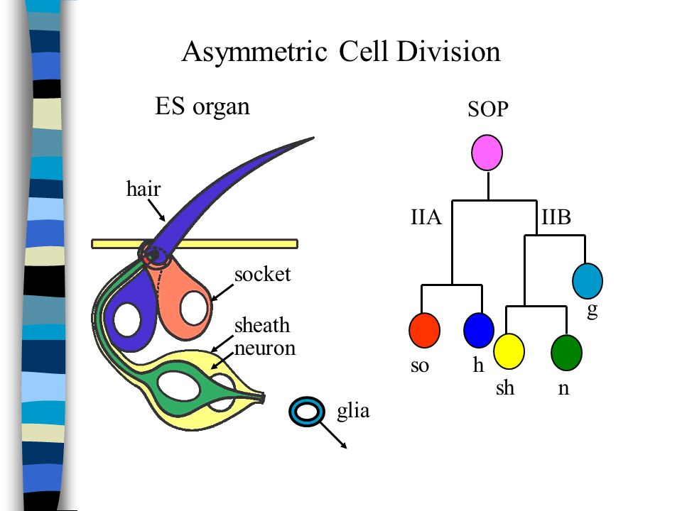 sheath hair socket neuron glia ES organ IIBIIA hso shn g SOP Asymmetric Cell Division