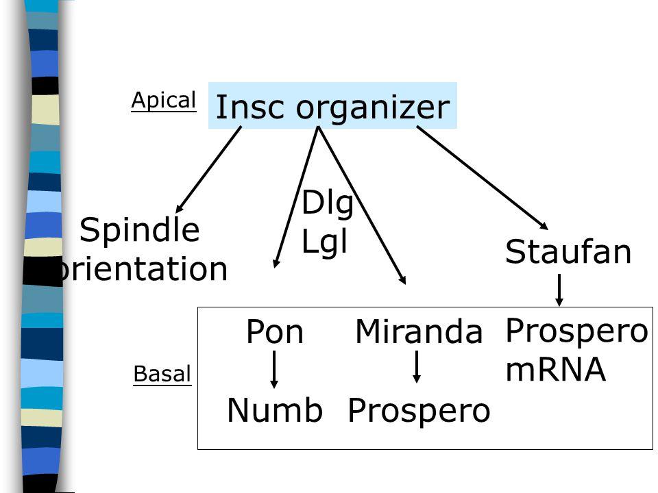Insc organizer Spindle orientation Pon Numb Miranda Prospero Staufan Prospero mRNA Dlg Lgl Apical Basal
