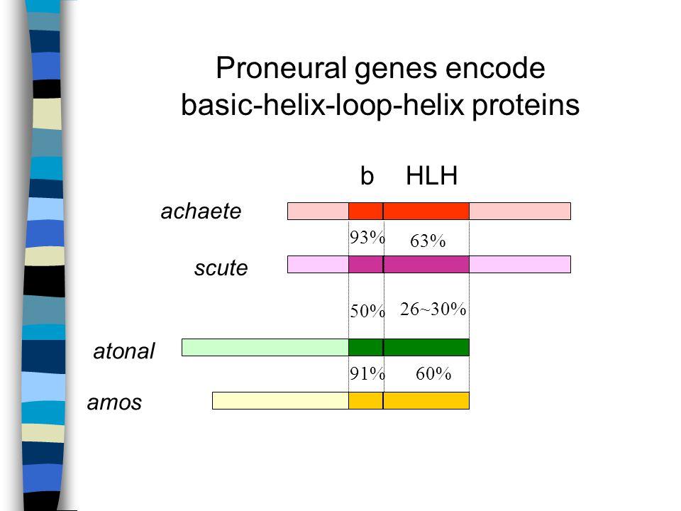 93% 91% 50% 26~30% 63% 60% achaete scute atonal amos Proneural genes encode basic-helix-loop-helix proteins bHLH