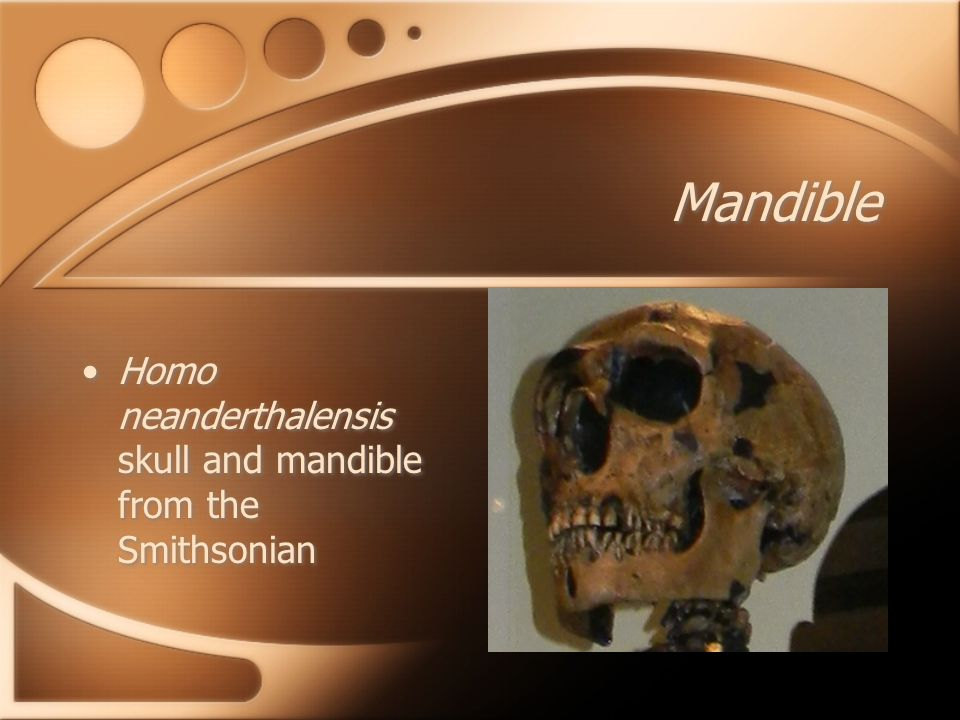 Mandible Homo neanderthalensis skull and mandible from the Smithsonian
