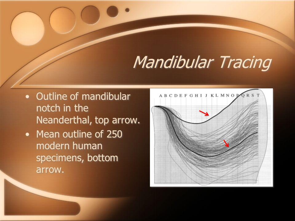 Mandibular Tracing Outline of mandibular notch in the Neanderthal, top arrow. Mean outline of 250 modern human specimens, bottom arrow. Outline of man