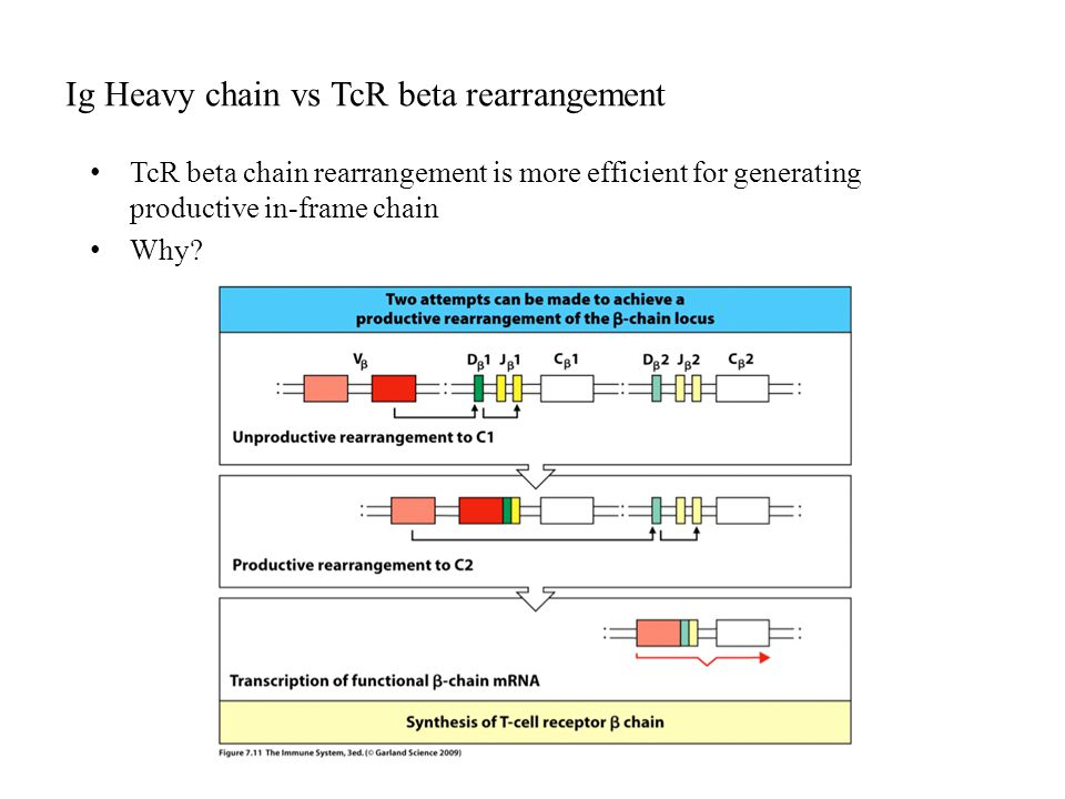 Ig Heavy chain vs TcR beta rearrangement TcR beta chain rearrangement is more efficient for generating productive in-frame chain Why?
